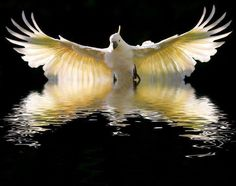 Cockatoo flying close to the water - wings make a reflection.