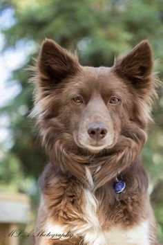 Meet Rosa, an adoptable Australian Shepherd looking for a forever home. Dog • Australian Shepherd & Border Collie Mix • Adult • Female • Medium Zoes Animal Rescue Society Edmonton, AB
