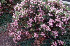 Indian Hawthorn 'Pink Lady' | Sierra Vista Growers