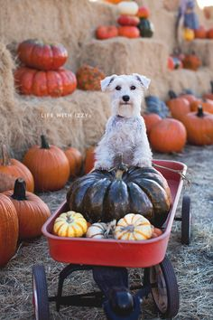 Pumpkin picking with my dog Izzy. Life with Izzy. Miniature Schnauzer.