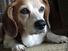 Even old beagles are beautiful