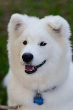 Samoyed at 6 months