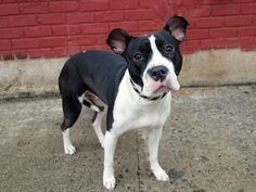 TO BE DESTROYED - 04/03/14 Brooklyn Center   My name is DAKOTA. My Animal ID # is A0995070. I am a female black and white pit bull mix. The shelter thinks I am about 1 YEAR 7 MONTHS old.  I came in the shelter as a OWNER SUR on 03/28/2014 from NY 11234, owner surrender reason stated was LLORDPRIVA.
