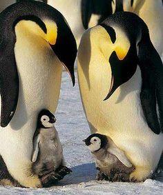 Penguins chatting