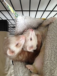 awww I miss mine! Ferrets Care, Baby Ferrets, Funny Ferrets, Pet Ferret, Animals And Pets, Funny Animals, Otter, Cute Little Animals, Exotic Pets