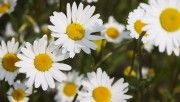 hd beautiful daisies wallpaper download