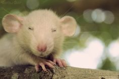 Adorable Rat!