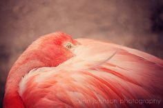 pink flamingo - bird photography - nature - bird wall art - animal photography - coral home decor - nursery art - The Resting Flamingo