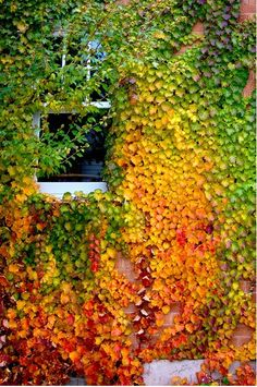 Boston Ivy , lush green in summer, turns a striking red in autumn. Boston Ivy, Green And Orange, Belle Photo, Autumn Leaves, Mother Nature, Melbourne, Vines, Beautiful Places, Beautiful Flowers