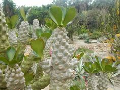 Euphorbia poissonii is an erect, much-branched, succulent shrub up to 6.6 feet (2 m) tall, with candelabra-form branching, with one to...