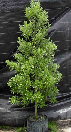 (NP) Ligustrum Recurve Is A Fast Growing, Dense, Upright Evergreen Shrub Or Small  Tree With Large Shiny Dark Green Leaves. Strongly Fragrant Creamyu2026