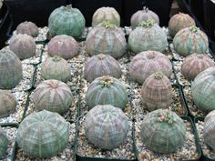 How to Grow and Care for a Baseball Plant (Euphorbia obesa): Like most succulents, the Baseball Plant will rot in soggy soil... #euphorbia #succulentopedia #succulents #CactiAndSucculents #WorldOfSucculents #SucculentLove #SucculentPlant #SucculentPlants #succulentmania #SucculentLover #SucculentObsession #SucculentCollection #plant #plants #SucculentGarden #garden #desertplants #nature #SucculentCare #GrowingSucculents #gardening #GardeningTips