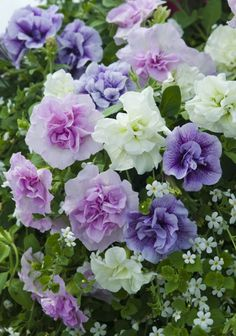 Petunia Plants Tumbelina Fragrant Mix Priscilla Melissa Joanna Cascades of fragrant flowers A Britishbred variety thats a must for hanging baskets and patio containers. Petunias, Garden Seeds, Garden Plants, Potted Plants, Petunia Plant, Sutton Seeds, Plants Delivered, Shades Of Purple, Pink Purple