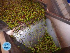 Kochen auf Kreta Griechenland kochurlaub 2023 Crete, How To Dry Basil, Olie, Herbs, Plants, Crete Greece, Crete Holiday, Mediterranean Style Kitchen Designs, Greek