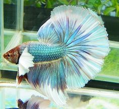 Elephant Ear Betta. Keep in mind all Bettas should be housed no differently than any other tropical fish, which means a cycled, heated, and filtered aquarium of no less than 5 gallons. Providing them with the BEST environment possible will allow them to live a healthy and happy life.