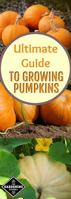 Learn how to choose seeds, plant and care for pumpkins in your home garden.  It's time to grow one this fall.