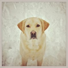 Griffin wants everyone to play in the snow with him. He is one of our two campus dogs. #dog #doggie...