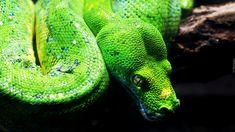 Wąż, Pyton zielony