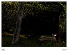 Un Rayo de sol - p365jvr - 25 de febrero de 2013. 56/365  Desde la ventana de mi casa se ve un parquecillo privado en el que de vez en cuando aparecen unos lindos gatitos. Esta tarde entre nevada y nevada ha salido el sol durante un breve espacio de tiempo y justo he pillado un rayo de sol entre el edificio y el arbusto y en ese mismo momento un gato cruzó dando vida a la imagen.