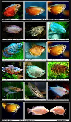 Gouramis   INDONESIAN TROPICAL FISH/INDONESIA ORNAMENTAL FISH/INDONESIA AQUARIUM FISH (FRESHWATER FISH AND MARINE FISH)