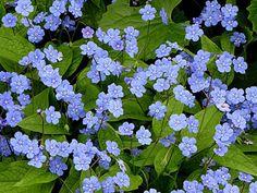 bodembedekker: kaukasisch vergeet-mij-nietje Heel fijn bloemetje.