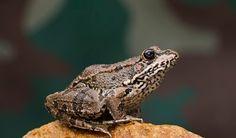 La rana más común en España, tamaño medio de 6 a 9 cms. Aspecto robusto suavizado por el hocico puntiagudo y las largas patas. Ojos relativamente próximos, saltones y con la pupila horizontal. El iris es de color pardo-dorado. Piel lisa, con escasas y pequeñas verrugas, y muy resbaladiza al tacto. Membrana interdigital muy desarrollada.