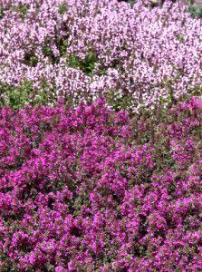 Top 11 Perennial Ground Cover Ideas for Your Yard or Garden Perennial Ground Cover, Ground Cover Plants, Thymus Serpyllum, Stepping Stone Pathway, Best Perennials, Purple Garden, Green Carpet, Organic Gardening, Gardening Hacks