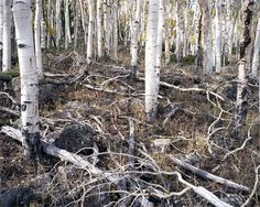 Clonal Quaking Aspens; 80,000 years old | 22 Incredibly Old Living Things