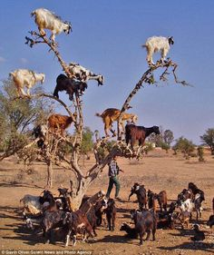 Goat tree. photographer Gavin Oliver took this near the Todra Gorge in Morocco. He witnessed nine goats clambering up a tree in search of tasty snacks — any fruits still hanging from the tree branches. None left at this point.