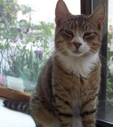 Tyler 133640 is an adoptable Tabby Cat in Longview, WA. Tyler is a very sweet little boy. For more information on this kitty, contact Stephanie at Kitty Korner, 360-578-9691.  Donate or Sponsor A Dog ...