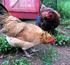 preserving dandelions, grass, and other greens for chickens. Also has other chicken raising stuff.
