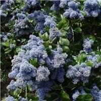 Ceanothus arboreus 'Trewithen Blue'  AGM
