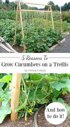 , Why to grow cucumbers on a trellis and how to grow cucumbers vertically. , 5 Reasons To Grow Cucumbers On A Trellis (And Taking Up Less Space Isn't One Of Them Vertical Vegetable Gardens, Vegetable Garden Design, Veg Garden, Garden Trellis, Vegetable Gardening, Bean Trellis, Veggie Gardens, Garden Stakes, Gutter Garden