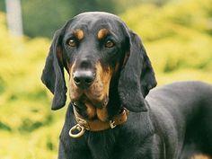 Austrian Black and Tan Hound Dog / Österreichische Glatthaarige Bracke