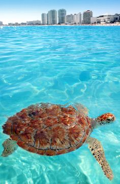 Turtle in Caribbean sea, Cancun, Mexico | 10 Useful Things you Must know Before Traveling to Mexico, an Exciting and Challenging Destination