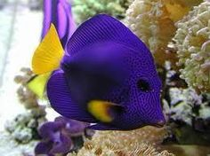 Saltwater fish are beautiful fish. A number of us get into the hobby loving the site of these fish in public aquariums or seeing a friend& aquarium. We have compiled a list of the 10 most beautiful fish for saltwater aquariums. Aquarium Marin, Saltwater Aquarium Fish, Saltwater Tank, Marine Aquarium, Marine Fish, Saltwater Angelfish, Fish Aquariums, Reef Aquarium, Underwater Creatures