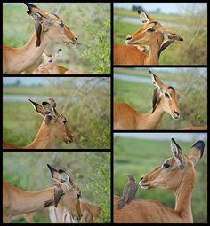 Impala Lady  at the Beauty Parlour - Chobe Botswana
