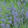 Lavender:  ticks and cabbage moths avoid it also a deer deterent