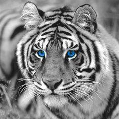 Color splash beautiful tiger