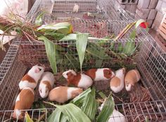 Here in this article, it is a piece of brief information on Guinea Pig Cages and there is some guidance on features for ideal cages. Rodents, Guinea Pigs, Pets, Historia, Animals And Pets
