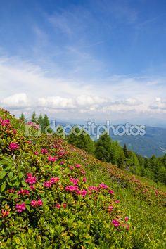#Alpine #Rose On Mt. #Gerlitzen @depositphotos #depositphotos #@carinzia #ktr15 #nature #landscape #carinthia #austria #summer #season #spring #outdoor #hiking #holidays #vacation #travel #leisure #sightseeing #stock #photo #portfolio #download #hires #royaltyfree