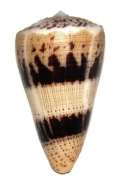 CONUS AUGUR CONIDAE Specimen Sea Shell Picture (TS111172-MOZAMBIQUE - NACALA BAY)