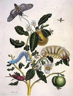 It's About Time: Female Natural History artist - Maria Sibylla Merian (German artist, Vintage Botanical Prints, Botanical Drawings, Botanical Art, Science Illustration, Nature Illustration, Sibylla Merian, Detailed Paintings, Gravure, Botany