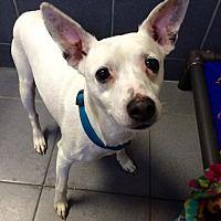 Jackson, Michigan - Parson Russell Terrier. Meet Milo, a for adoption. https://www.adoptapet.com/pet/20900263-jackson-michigan-parson-russell-terrier-mix