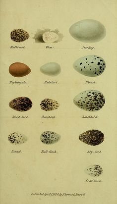 by BioDivLibrary, via Flickr #oology #egg #birdegg