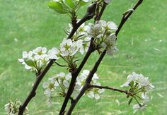 My first pin. This was an article on how to prune a pear tree, in which I'm about to try. I hope I do it right! Love my trees, just don't know much about tree care.