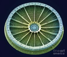 Diatom, a single algae cell with a cell wall made of silica. Taken with a scanning electron microscope (SEM).Photograph by Steve Gschmeissner.