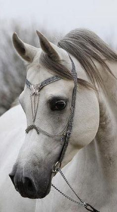 Arabian Stallion with beautiful butterfly headstall