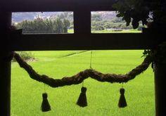 Torii (Shinto gate) in Rice Field.