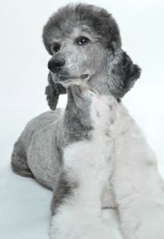 My blue and white Parti Poodle